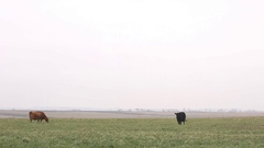 Cows roam through pasture Stock Footage