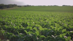 Soy bean field on a summer evening Stock Footage