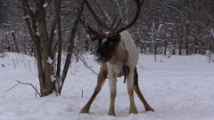 Deer in the winter forest in the nature reserve Stock Footage