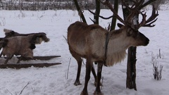 Deer and sledge in the winter forest nature reserve Stock Footage