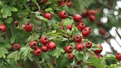 Berry-like fruit of the hawthorn (Crataegus) Stock Footage