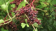 Fruit cluster of the black elderberry, Sambucus nigra Stock Footage