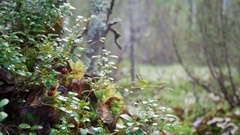Wild berry cranberries growing in forest Stock Footage