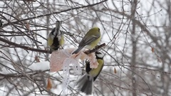 Birds, the great tit pecking the fat in the winter Stock Footage