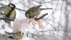 Some birds, great tit pecking the fat tied to the branch. Close-up Stock Footage