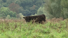 Galloway bull grazing in high grass, tangled curly coat Stock Footage