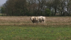 Charolais cattle in nature reserve Balloerveld, The Netherlands Stock Footage
