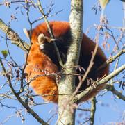 Red panda napping Stock Photos