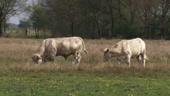 Charolais cattle graze in nature reserve Balloerveld, The Netherlands. Stock Footage