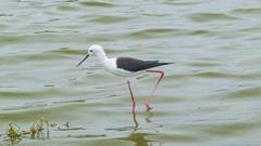 Bird Walking in South African Dam Water Stock Footage