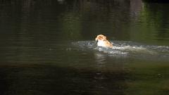 Cedar Creek Falls, Dog Swimming Stock Footage