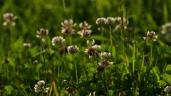 Shamrock on a meadow in close-up Stock Footage