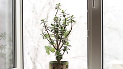 Houseplant on the the window sill in winter Stock Footage