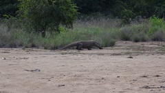 4k Komodo dragon walking in dry mangrove swamp on Rinca island Stock Footage