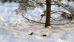 Flock of titmice eating sunflower seeds on snow under a tree Stock Footage