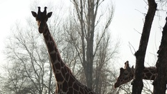 Couple Giraffes Posing Next to Tree Stem Park View Stock Footage