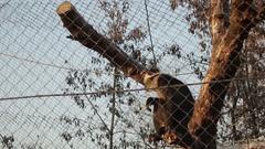 Monkey Behind Fence Zoo Tree Locked Blue Sky Stock Footage