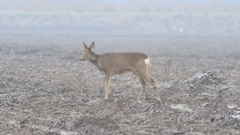 Beautiful Roe deer looking for food during cloudy day. Stock Footage