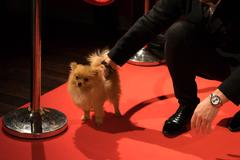 Dog spitz on the red carpet Stock Photos