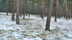 Bike motorbike rides quickly in the winter woods of pine Christmas tree nature Stock Footage