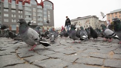 Flock of pigeons searching for food on the Red square of Vyborg, Russia Stock Footage