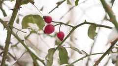 Wild rose red berry bush and berries covered with snow frost winter the nature Stock Footage
