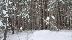 Dry trunks of pine christmas tree tree trunks winter forest landscape of wild Stock Footage