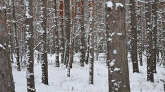 Dry trunks of pine christmas tree winter nature forest landscape of wild Stock Footage