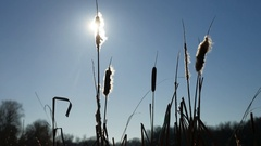 Cattail grass silhouetted against the blue sky winter nature landscape Stock Footage