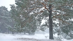 Beautiful christmas tree blizzard in winter landscape in late evening in Stock Footage