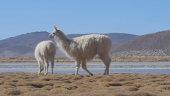 Llamas on the shore of the Laguna Yapi. Stock Footage