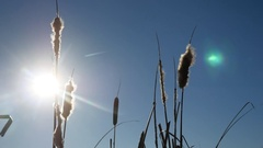 Cattail grass silhouetted against the blue sky winter landscape nature Stock Footage