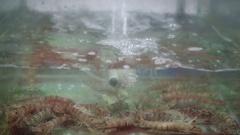 Group of mantis shrimp in aquarium at fish market closeup Stock Footage