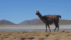 Llama on the shore of the Laguna Yapi. Stock Footage
