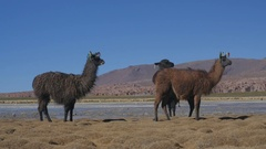 Llamas in Bolive shore of the Laguna Yapi.ia Llama on th Stock Footage