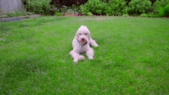 Playful dog running away from ball. White labradoodle running grass Stock Footage