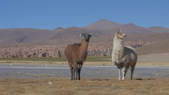 Llamas in Bolivia Llama on the shore of the Laguna Yapi. Stock Footage