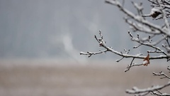 Close up of snowy branches In foggy weather  Stock Footage
