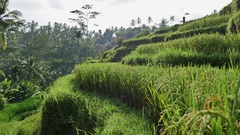 Rice Fields View Gimbal Indonesia Asia Bali 4k Stock Footage