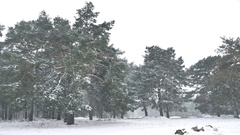 Snowstorm blizzard nature in woods winter snowing, christmas tree and pine Stock Footage