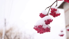 Red bunches branch of rowan winter covered with the first snow Stock Footage