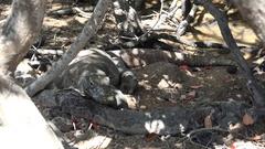 4k Komodo dragon resting under mangrove trees close up Stock Footage