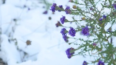 Purple flowers in the snow winter landscape nature Stock Footage