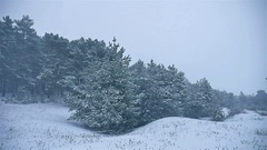 Snowstorm the woods snowing winter, nature blizzard christmas tree and pine Stock Footage