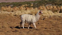 Llama in Bolivia Stock Footage