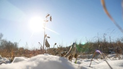 Dry thorn in the snow winter dry grass nature landscape Stock Footage
