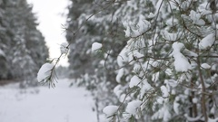 Christmas tree branch in snow winter forest nature beautiful landscape, blurred Stock Footage