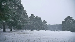 Snowstorm blizzard the woods snowing winter, christmas tree and pine forest Stock Footage