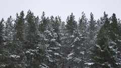 The tops of pine trees in the winter nature snow landscape Stock Footage