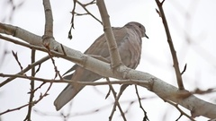 Mourningbird Dove turtledove bird Zenaida macroura on a tree branch Stock Footage